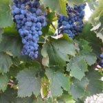 【ワインは特別なお酒】ブドウの品種や最適な栽培環境について