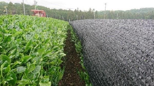 かぶせ茶生産過程1