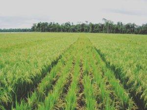 カマルグの稲作地帯の様子