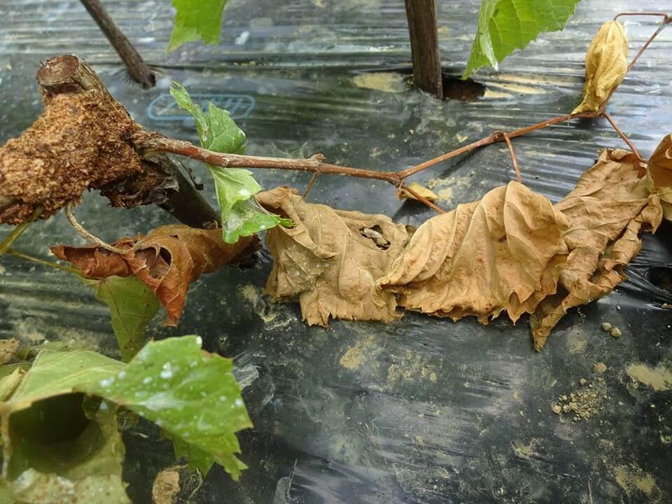 葉や茎が枯れている様子