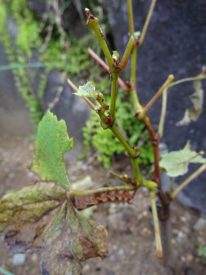 スズメガが生成した枝の様子