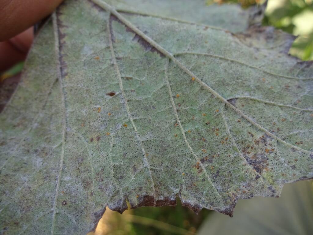 サビ病により、極めて小さい黄色の斑点が葉の表面に現れた様子
