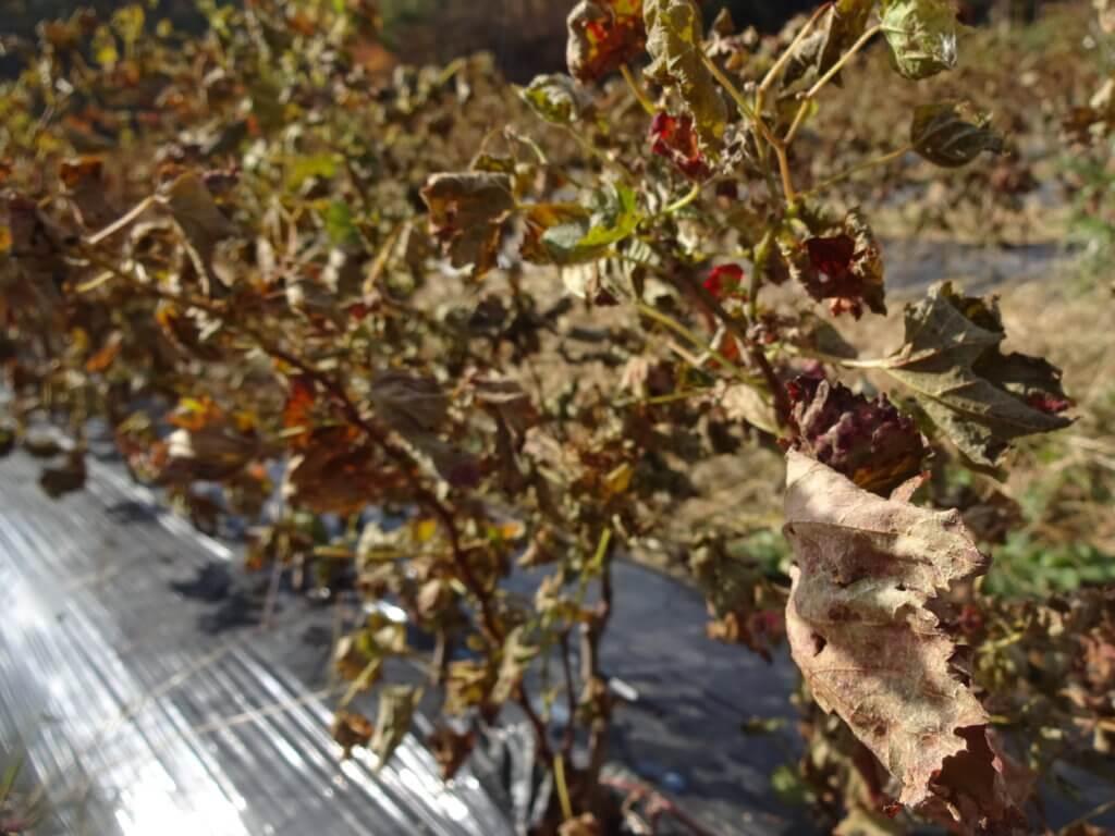ブドウ樹の葉が枯れ、葉を落とす準備をしている様子