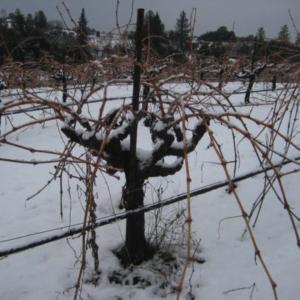 ブドウ畑が冬眠し、雪が被っている様子