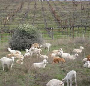 ヤギや羊がブドウ畑に放し飼いされている様子